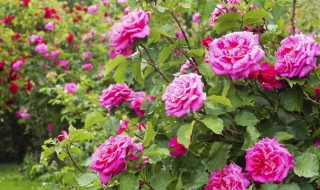 Roses rosiers jardinage feuille buisson