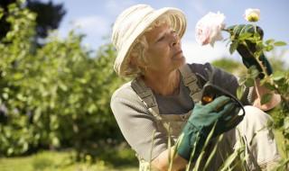 Rosier roses dame gants épines sécateur jardinage