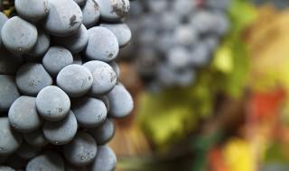 raisin vigne vendange vin