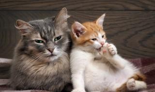 Toilette de coussinets de chat sur une couverture à carreaux