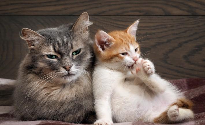 astuce contre les puces de chat 5 astuces naturelles contre les puces de chat astuces le. Black Bedroom Furniture Sets. Home Design Ideas