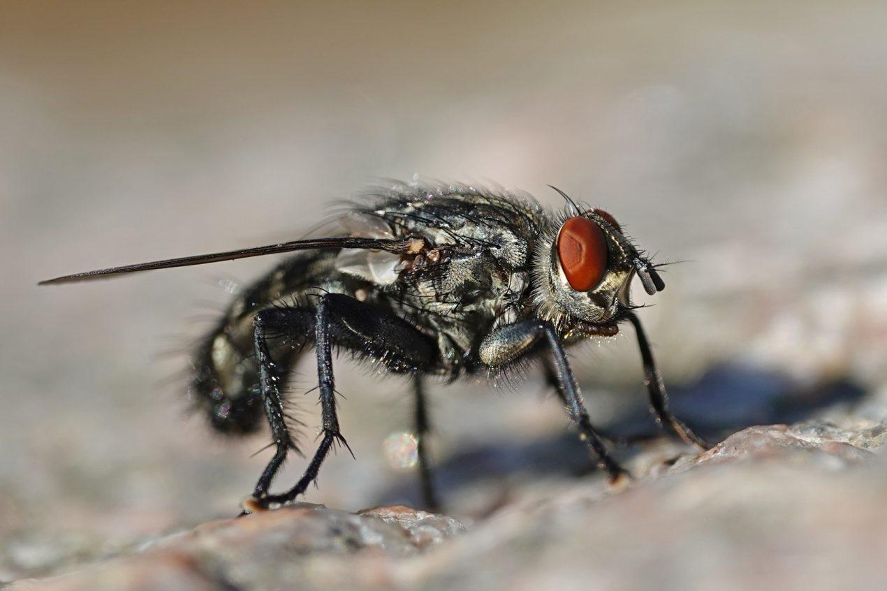Comment Se Débarrasser De Moucherons Naturellement se débarrasser des mouches, comment ? le guide de mon