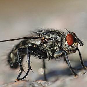 Comment se débarrasser des mouches ?